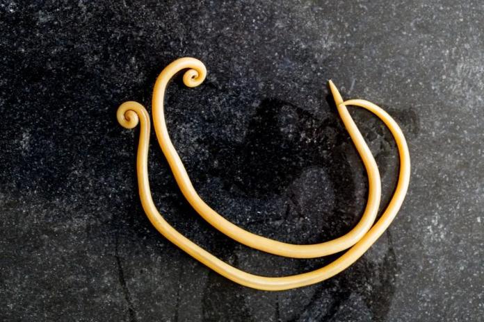Parasitic worm causing pregnancy