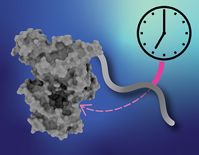 """Delayed Sleep Phase Disorder: This illustration shows a """"pocket"""" in the clock protein complex where binding of the """"tail"""" of the cryptochrome protein helps regulate the timing of the biological clock."""