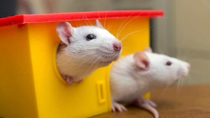 Hantavirus infection contracted from pet rat in Germany
