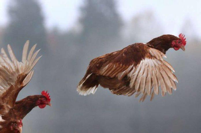 Russia H5N8 bird flu