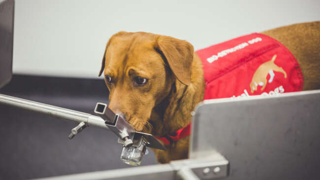 Dogs detect prostate cancer with high accuracy